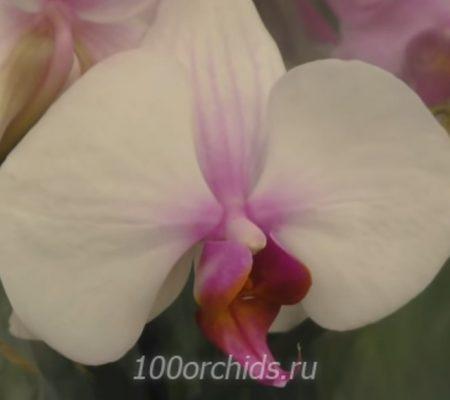 Орхидея фаленопсис Castor