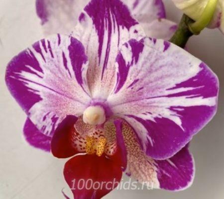 Cat King орхидея фаленопсис