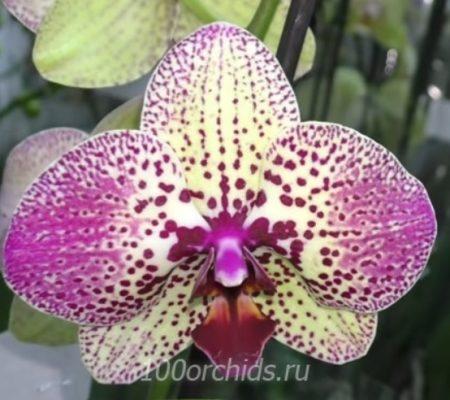 Орхидея фаленопсис Клеопатра