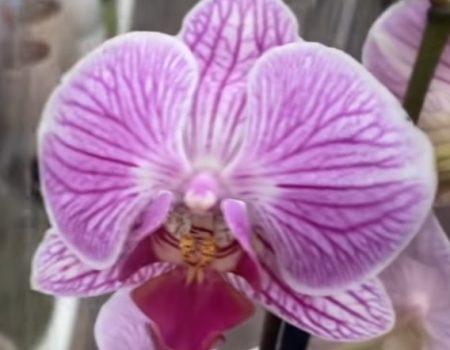 Орхидея фаленопсис Cleveland