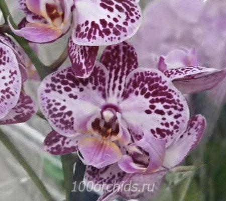 Coco24 орхидея фаленопсис
