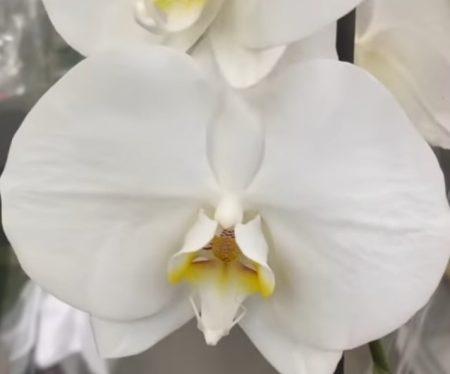 Орхидея фаленопсис Dame Blanche