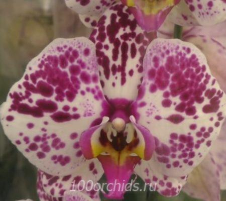 Орхидея фаленопсис Darling