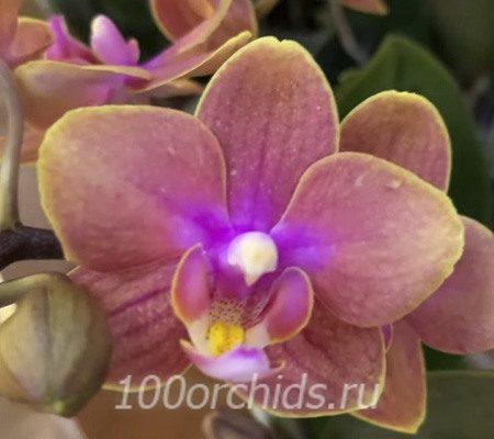 Дасти Бэль орхидея фаленопсис мультифлора