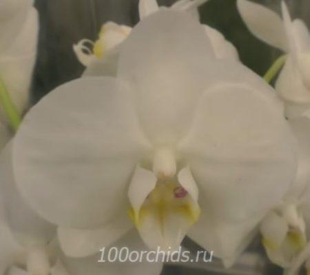 Орхидея фаленопсис Denebola
