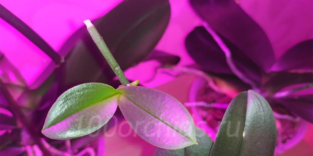 Детка орхидеи растет и первый корень