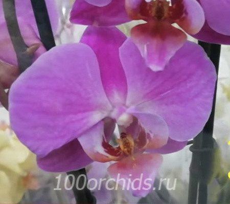 Diva орхидея фаленопсис