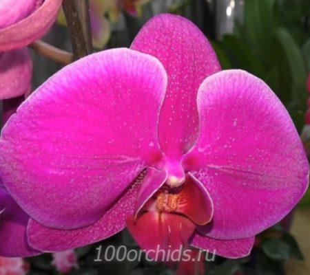 Орхидея фаленопсис Durban