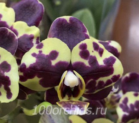Эфиопия орхидея фаленопсис