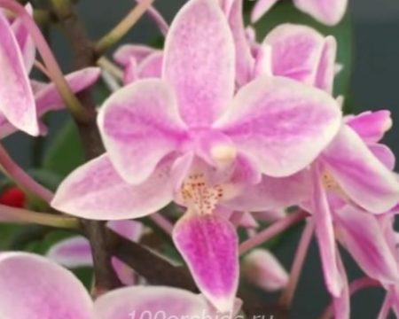 Орхидея фаленопсис Equestris