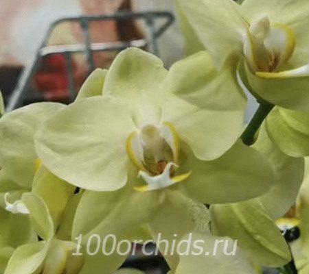 Elegant Deborah орхидея фаленопсис