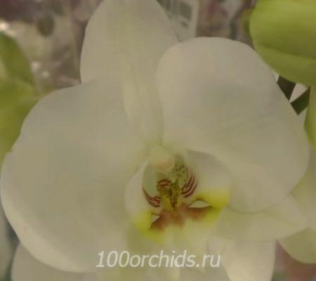 Орхидея фаленопсис Eternity