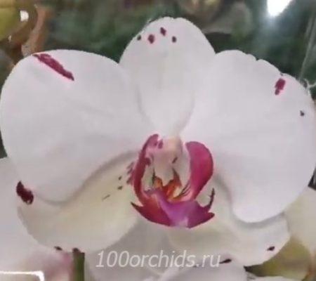 Орхидея фаленопсис Fenja