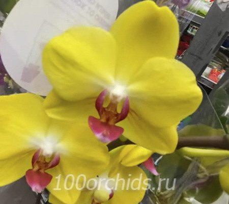 Ferla орхидея фаленопсис