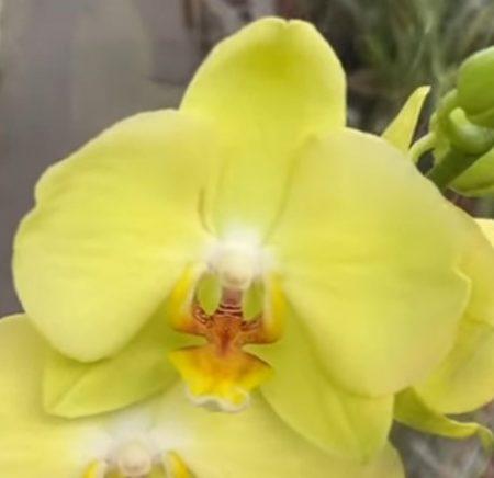 Орхидея фаленопсис Ferrara
