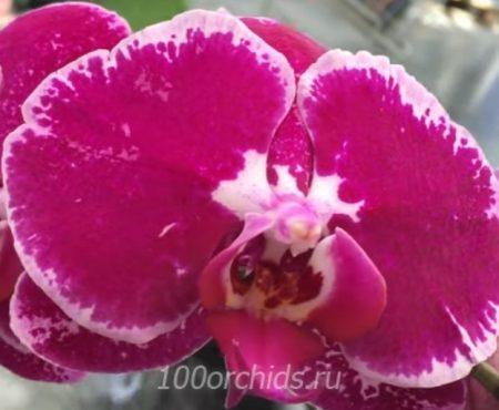 Орхидея фаленопсис Flor