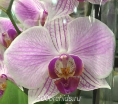 Орхидея фаленопсис Fusion