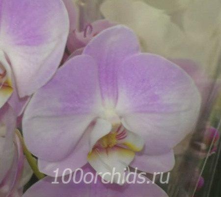 Generation орхидея фаленопсис