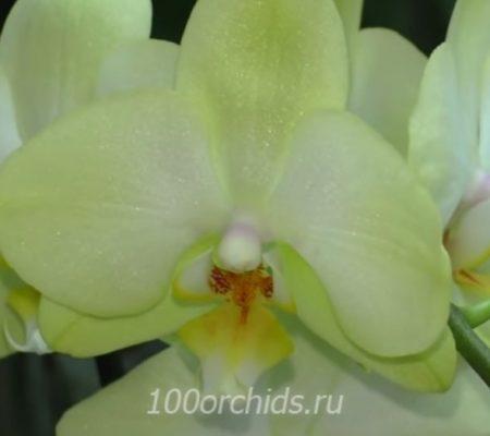 Golden Jaguar орхидея фаленопсис