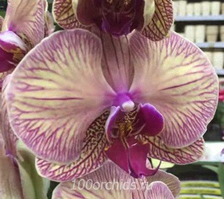 Golden Leopard орхидея фаленопсис