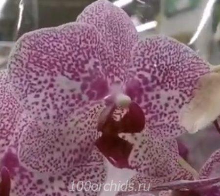 Goteborg орхидея фаленопсис