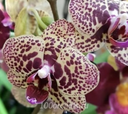 Green Angel Орхидея фаленопсис