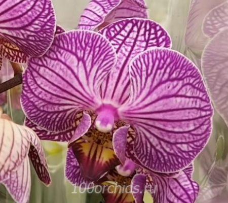 Happy Minho орхидея фаленопсис