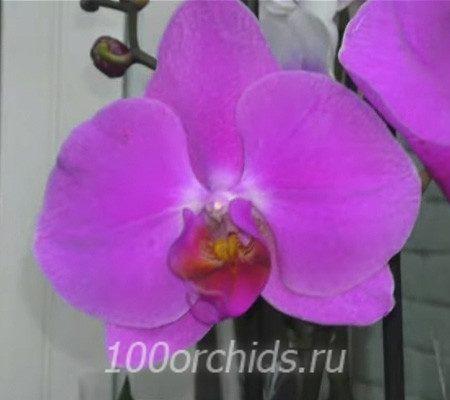 Happy Valentina орхидея фаленопсис