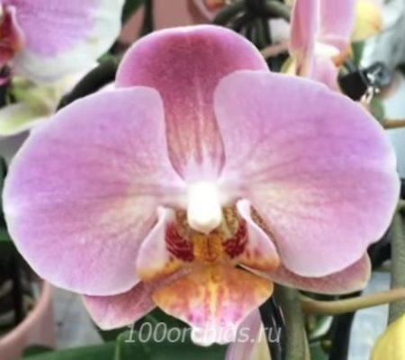 Орхидея фаленопсис Колибри