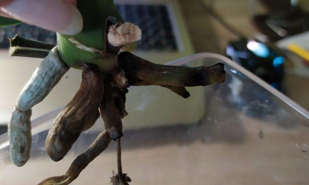 Реанимация корней орхидеи