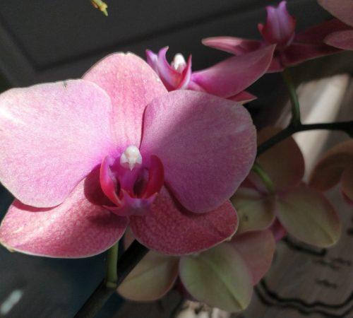 Орхидея Фаленопсис Серф Сонг