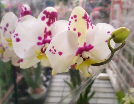Орхидея Фаленопсис Kellion