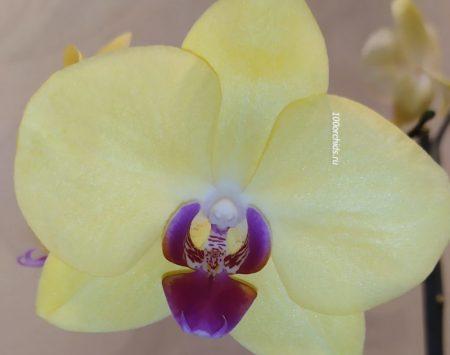 Орхидея Фаленопсис Miraflore
