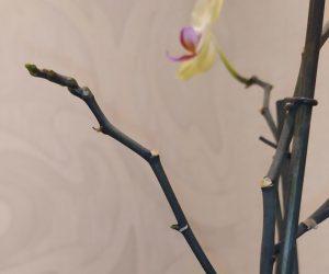 Цветонос у орхидеи не засыхает после отцветения