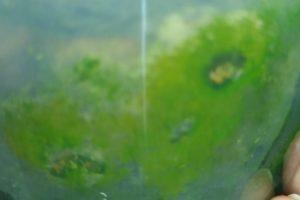 Зеленые водоросли в горшке с орхидеей