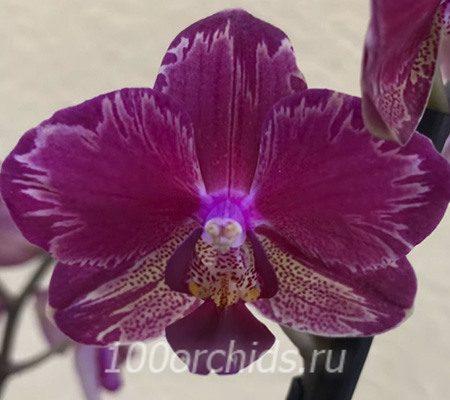 Интрига орхидея фаленопсис