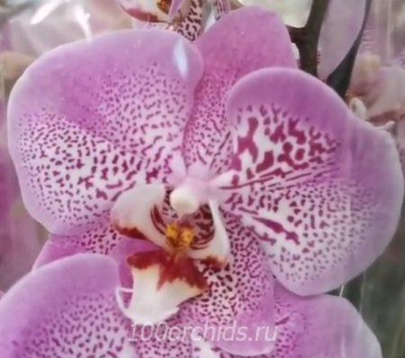 Орхидея фаленопсис Jillion