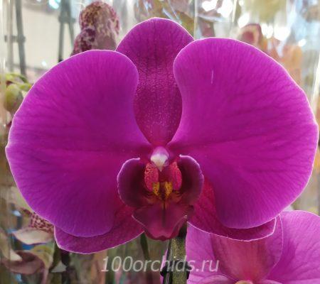 Орхидея фаленопсис Joyride