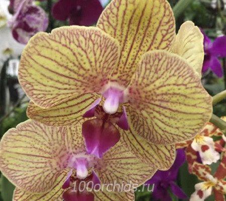 KV Beauty орхидея фаленопсис