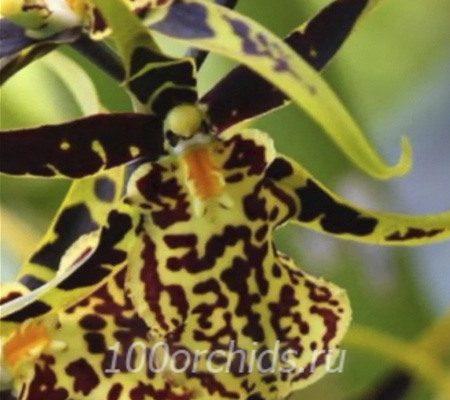 Камбрия1 орхидея