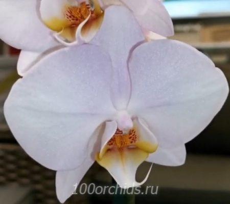 Орхидея фаленопсис Kikion