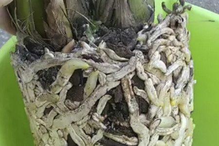 Корни цимбидиума