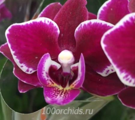 Кренбери чача мини орхидея