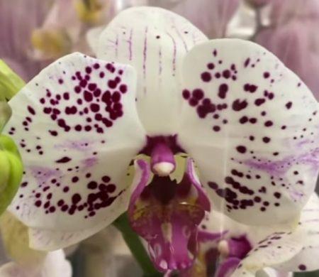 Орхидея фаленопсис Kultura
