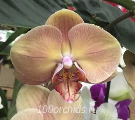 Lady Marmalade орхидея фаленопсис
