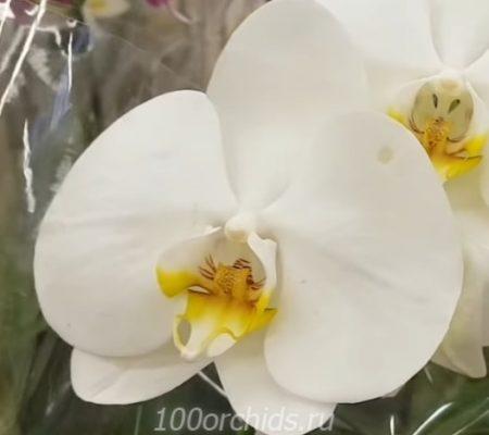 Lazy Sunday орхидея фаленопсис