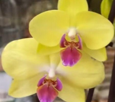 Орхидея фаленопсис LimeLite
