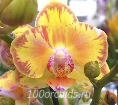 Limpopo орхидея фаленопсис