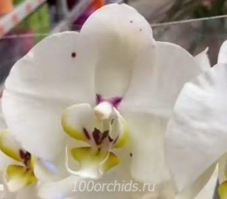 Орхидея фаленопсис Lisboa