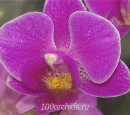 Little Pinky mini орхидея фаленопсис
